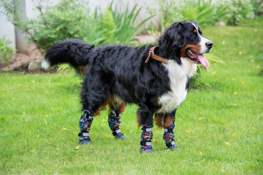 Dog standing wearing the booties